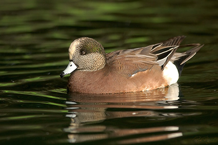 SleepyWidgeon_5680
