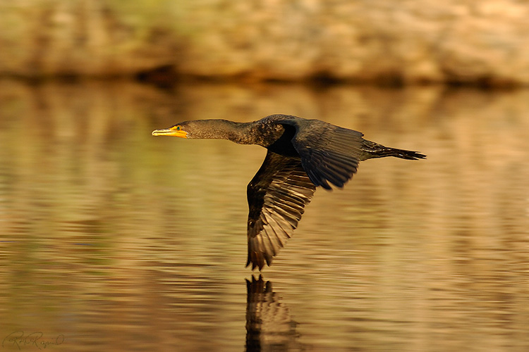 Cormorant_Flight_1068