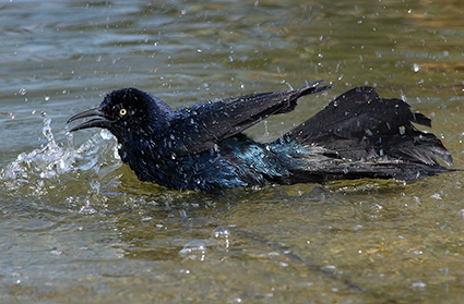 GreatTailedGrackle_Bathing_1900