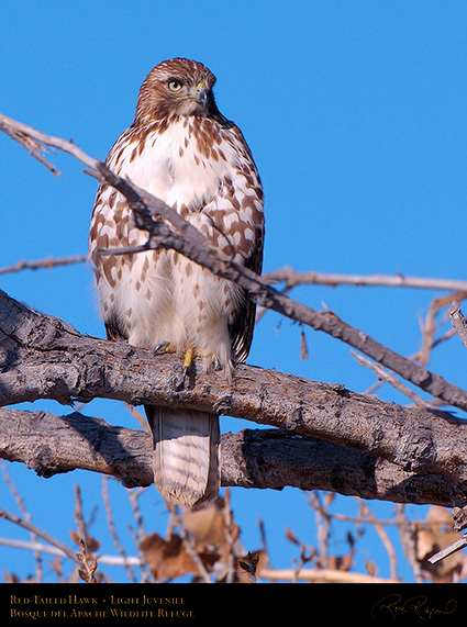 LightJuvenile_Red-Tail_X3701c