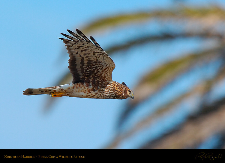 NorthernHarrier_3209