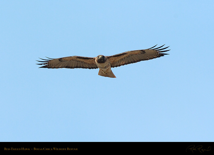 Red-Tailed_Hawk_3325