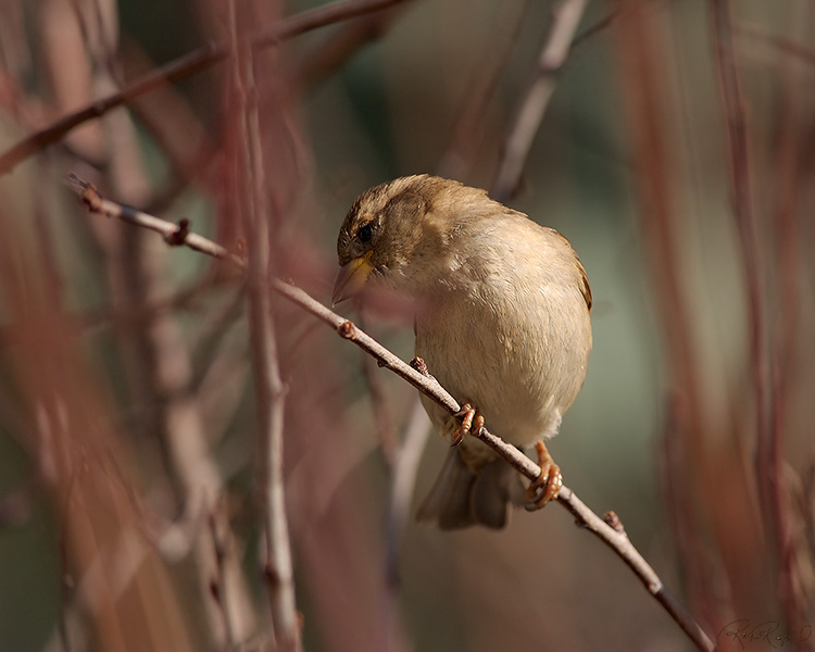 Sparrow_inWillows_9230M