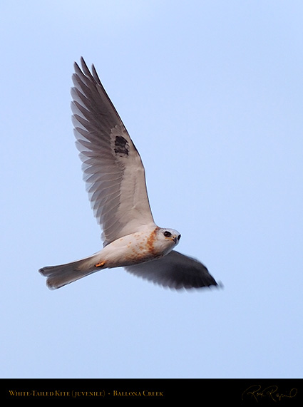 WhiteTailed_Kite_EveningFlight_HS6138c