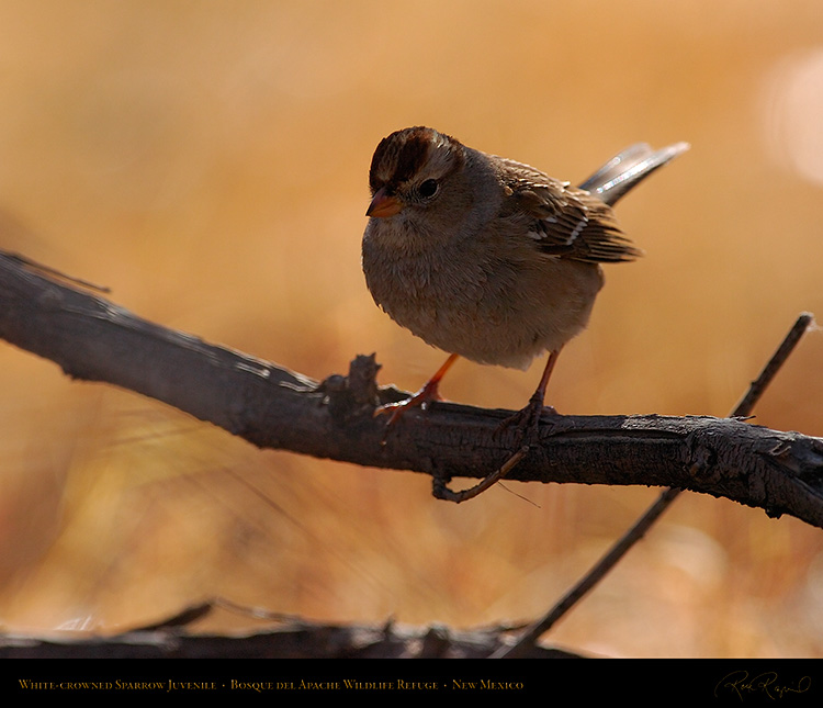 White-Crowned_Sparrow_Juvenile_2099M