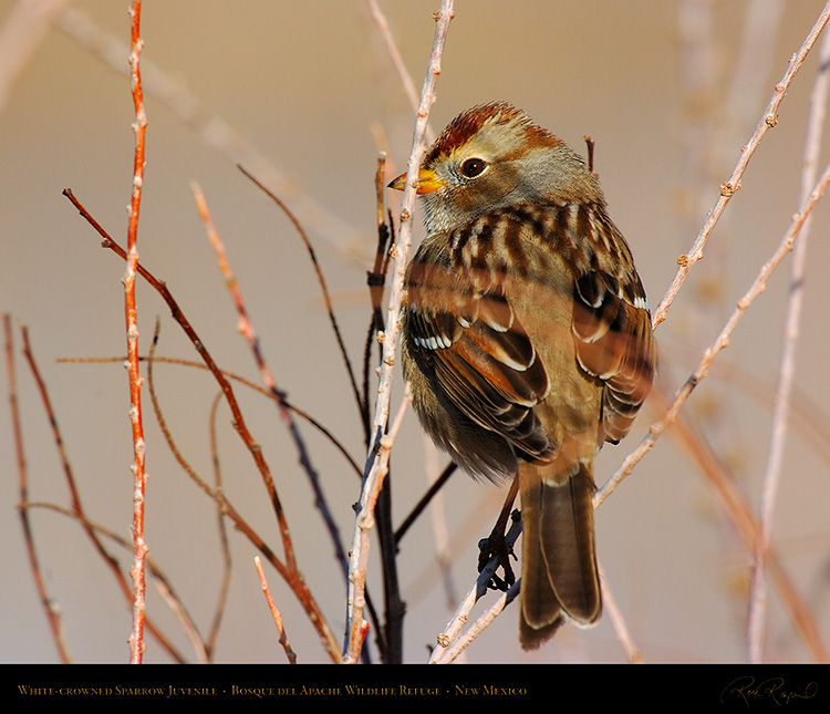 White-Crowned_Sparrow_Juvenile_5899M