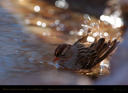 White-Crowned_Sparrow_Juvenile_Bathing_2111