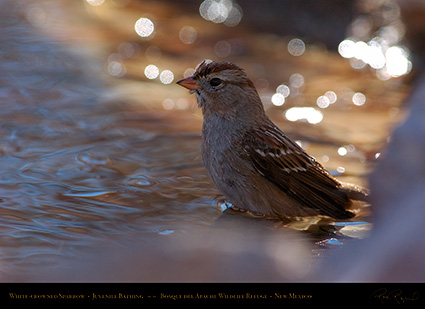 White-Crowned_Sparrow_Juvenile_Bathing_2118