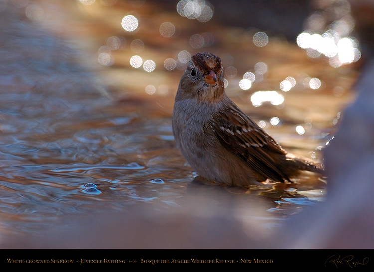 White-Crowned_Sparrow_Juvenile_Bathing_2124