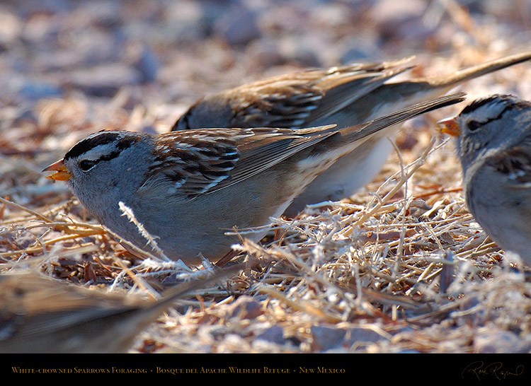 White-Crowned_Sparrows_Foraging_X6517c
