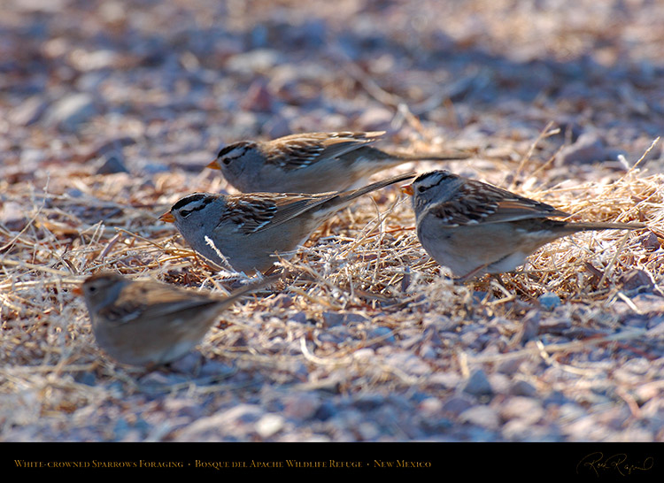 White-Crowned_Sparrows_Foraging_X6518