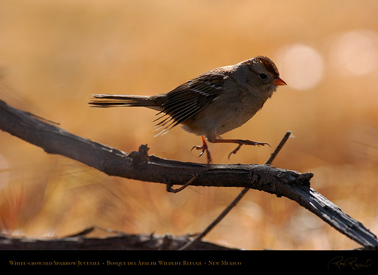 White-Crowned_Sparrow_Juvenile_2100