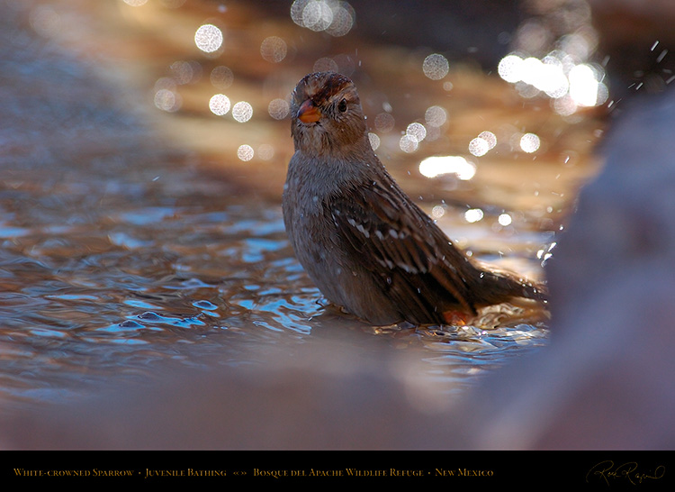 White-Crowned_Sparrow_Juvenile_Bathing_2123