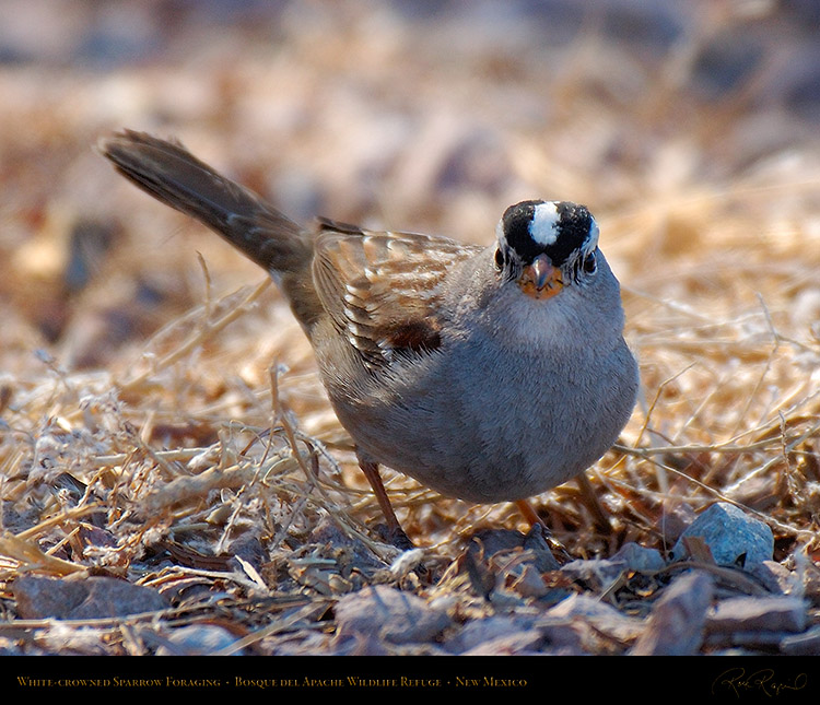 White-Crowned_Sparrow_X6530M