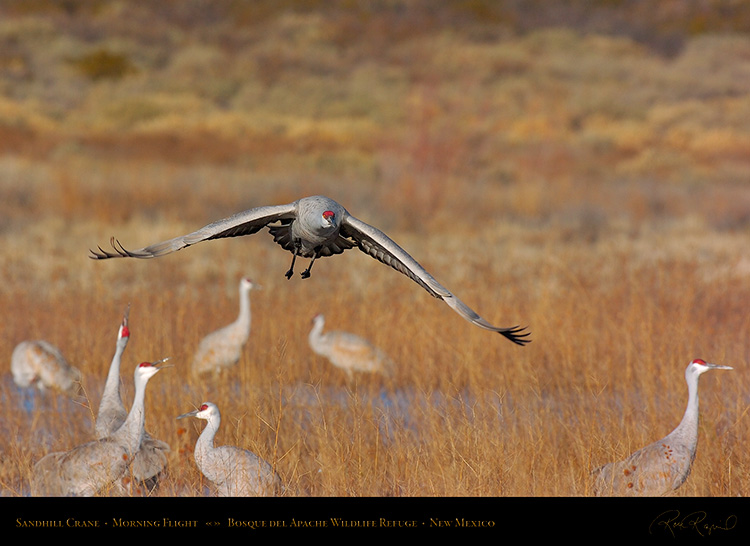 SandhillCrane_MorningFlight_1803