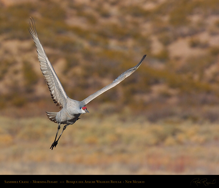 SandhillCrane_MorningFlight_1806M