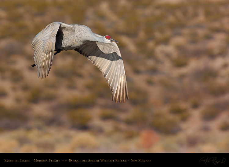 SandhillCrane_MorningFlight_1808