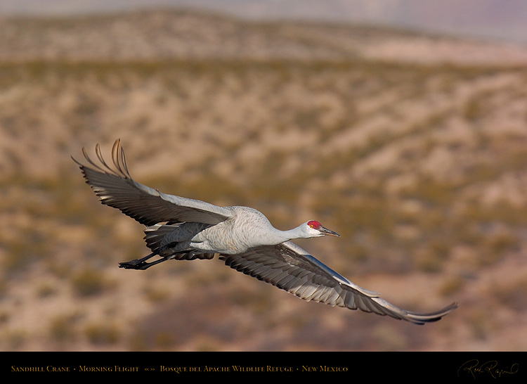SandhillCrane_MorningFlight_1810