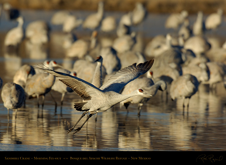 SandhillCrane_MorningFly-out_X8798