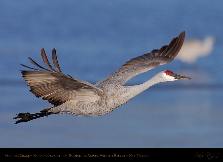 SandhillCrane_MorningFlyout_HS0725