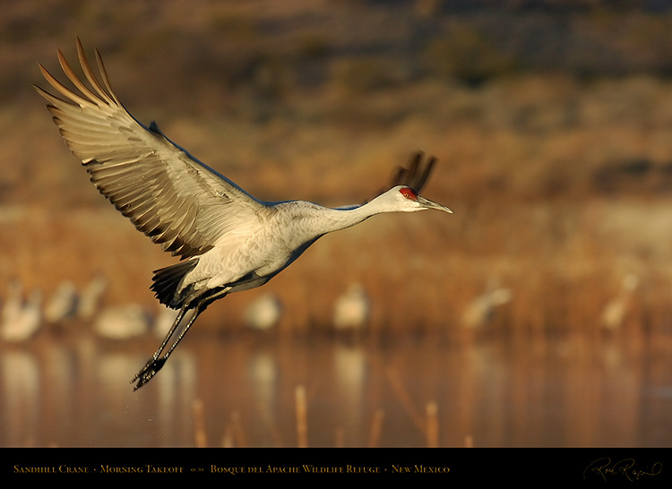SandhillCrane_MorningTakeoff_4792