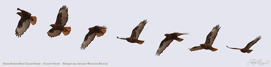 DarkMorph_Red-Tail_FlightStudy_SXL