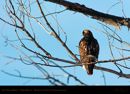 DarkMorph_Red-Tailed_Hawk_4258