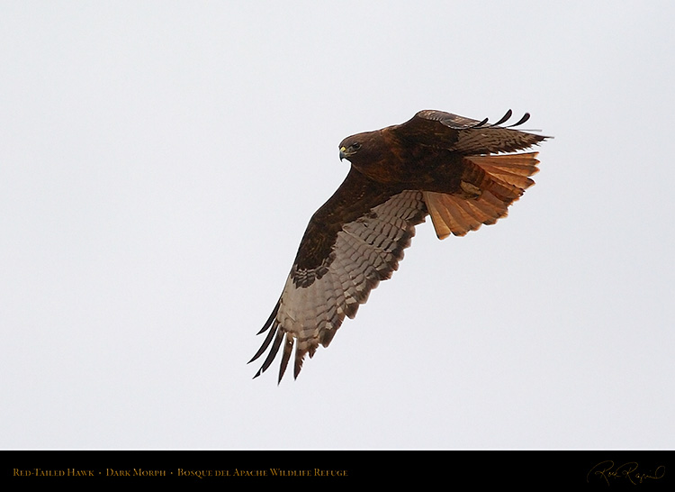 DarkMorph_Red-Tailed_Hawk_5565