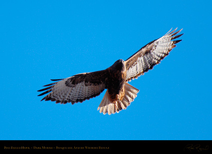 DarkMorph_Red-Tailed_Hawk_X3976