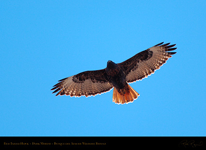 DarkMorph_Red-Tailed_Hawk_X3983