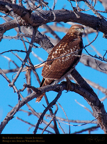 LightJuvenile_Red-Tail_1898c
