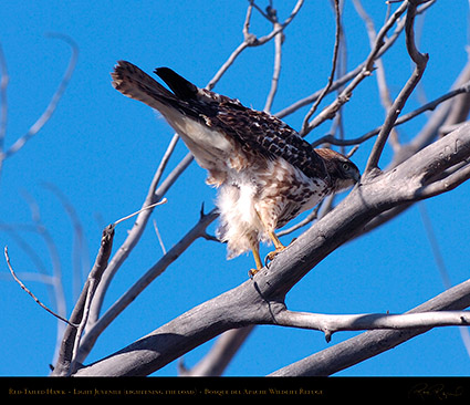 LightJuvenile_Red-Tail_HS0883M
