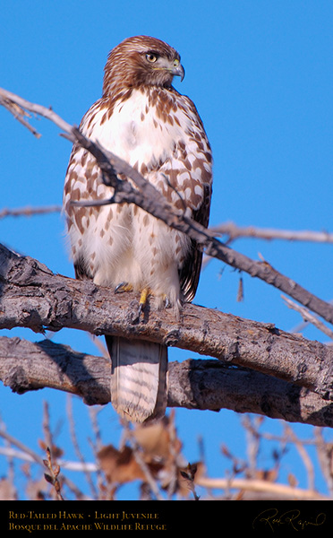 LightJuvenile_Red-Tail_X3705