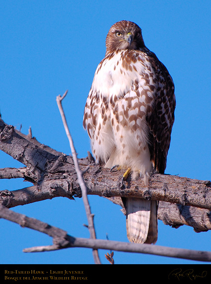 LightJuvenile_Red-Tail_X3715