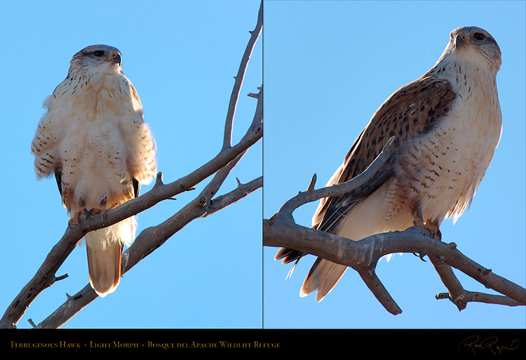 LightMorph_FerruginousHawk_XL