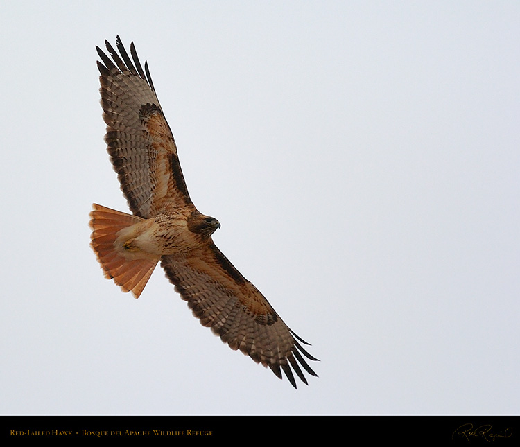 Red-Tailed_Hawk_5639M