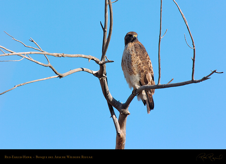 Red-Tailed_Hawk_6080
