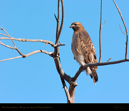 Red-Tailed_Hawk_6082M