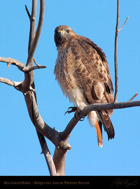 Red-Tailed_Hawk_6086c