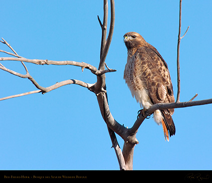 Red-Tailed_Hawk_6090M