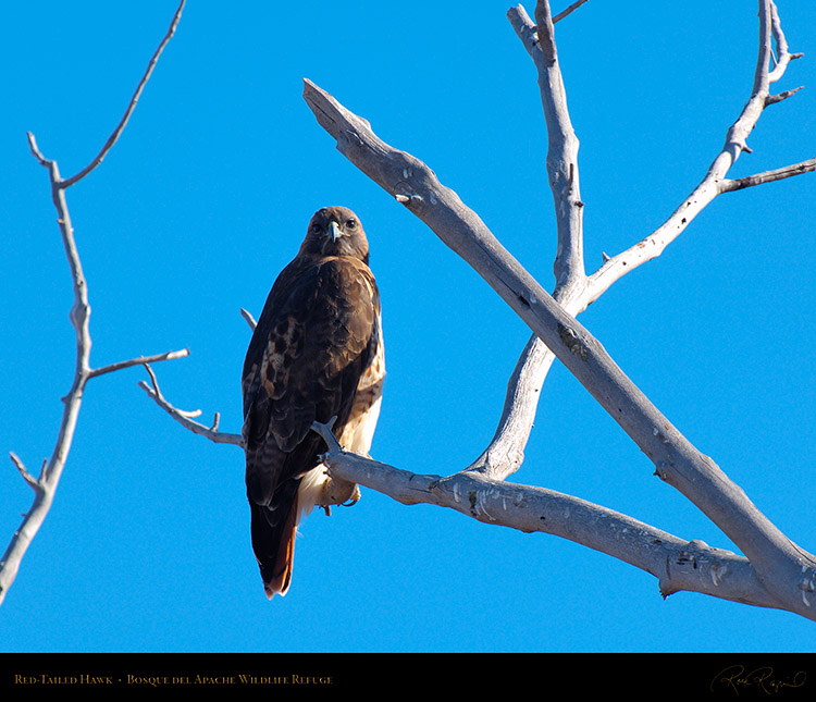 Red-Tailed_Hawk_X9056M