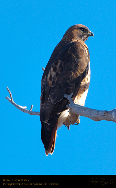 Red-Tailed_Hawk_X9066