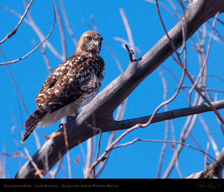 LightJuvenile_Red-Tail_HS0906M