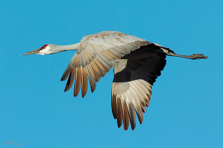 SandhillCrane_Flight_2050s