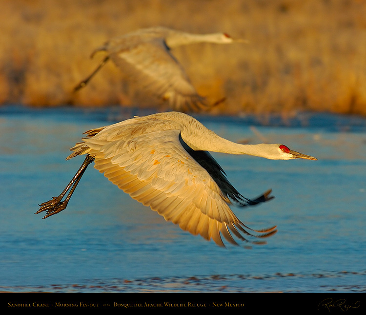 SandhillCrane_MorningFlyout_5654Ms