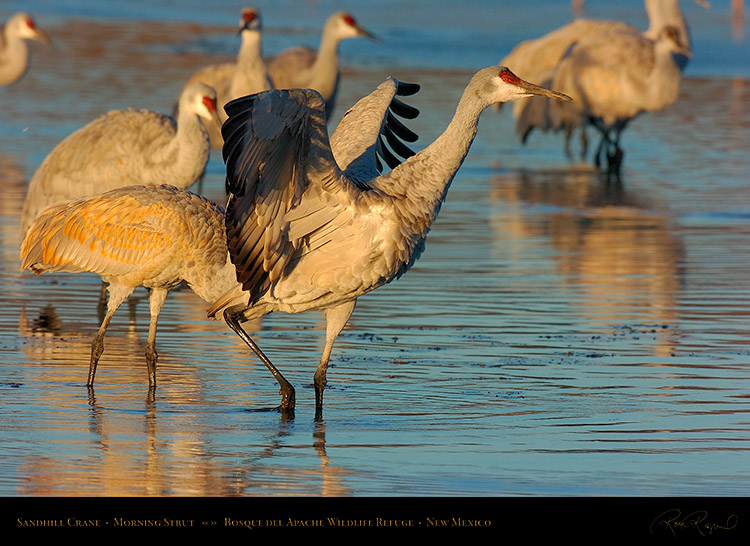 SandhillCrane_MorningStrut_5669s