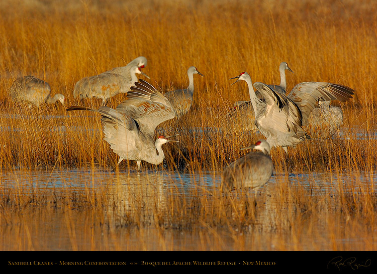 SandhillCranes_MorningConfrontation_2814s