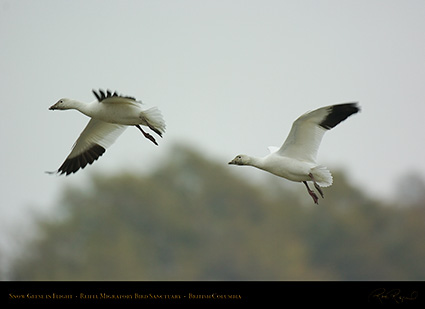 SnowGeese_9059