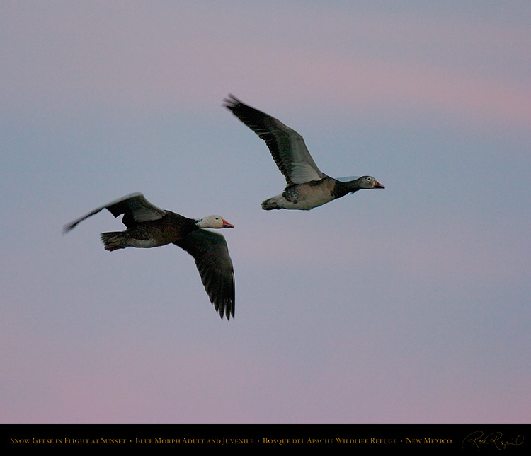 SnowGeese_BlueMorph_SunsetFlight_6073M
