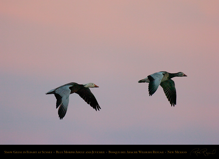 SnowGeese_BlueMorph_SunsetFlight_6075
